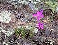 Phemeranthus calycinus.jpg