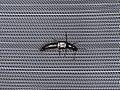 Philonthus quisquiliarius (41029969010).jpg
