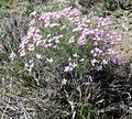 Phlox speciosa - Flickr - brewbooks.jpg