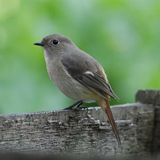 Daurian redstart - Female in Japan