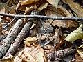 Photo of the Week - Wood Frog (CT) (6276160833).jpg