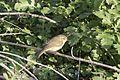 Phylloscopus trochilus - Willow Warbler, Adana 2016-12-31 02-2.jpg