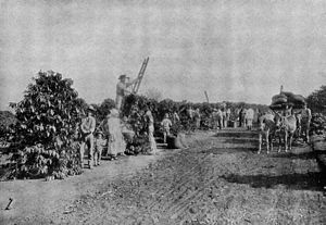 European immigration to Brazil - European immigrants working in a coffee plantation in the State of São Paulo.