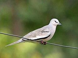Picui Ground Dove, Parque San Rafael, Paraguay.jpg
