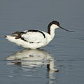 Pied Avocet, Recurvirostra avosetta at Marievale Nature Reserve, Gauteng, South Africa (30695639167).jpg