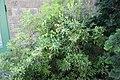 Pieris japonica Whitewater 3zz.jpg