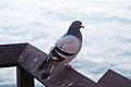 Pigeon 4834.jpg