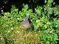 Pigeon ramier à terre Périgueux (2).JPG