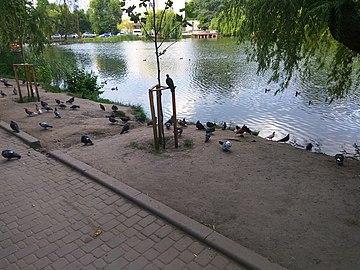 Pigeons in Holosiiv park (Jun 2019).jpg