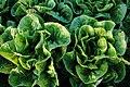 PikiWiki Israel 11948 lettuce fields in Tsofit.jpg