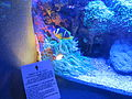 PikiWiki Israel 29397 Anemonefish in Eilat.JPG