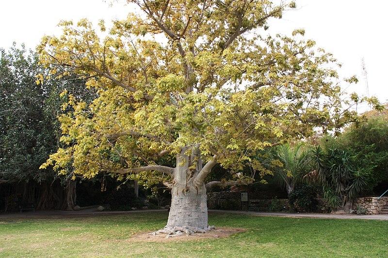 עץ הבאובב