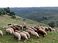 PikiWiki Israel 35745 Sheep grazing.JPG