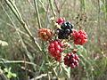 PikiWiki Israel 42619 Raspberries.JPG