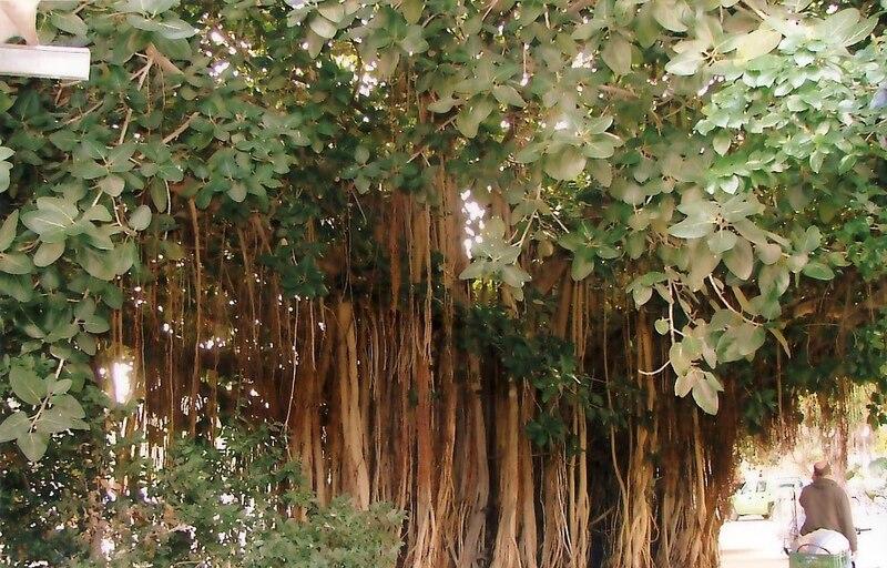 גן-שמואל-עץ הפיקוס 2006