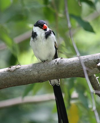 English: Pin-tailed Whydah Vidua macroura at B...