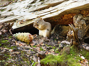 Pinaleño Mountains - The Mount Graham Red Squirrel is possibly an endemic (found nowhere else) subspecies, found only in the Pinaleños. The squirrel was a focal point of a controversy related to installing the observatory on Mount Graham.