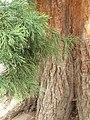 Pinales - Sequoiadendron giganteum - 3.jpg