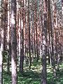 Pinar en el valle de Valsaín.JPG