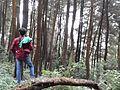 Pine Forest (Gn. Halimun Salak National Park) 02.jpg