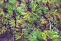 Pine Needles, Pictured Rocks National Lakeshore, Michigan, UP (30540942174).jpg