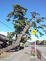 "Pine tree in front of the Enyû-ji Buddhist Temple in Nishio city - ""Kira-no-Gohon-Matsu"".jpg"
