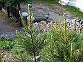 Pinus gerardiana India12.jpg