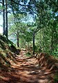 Pinus kesiya forest3 MtUgo.jpg