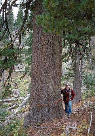 Western white pine - Large P. monticola