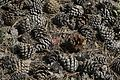 Pinus nigra - Karaçam kozalakları 01.jpg