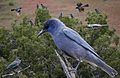 Pinyon Jay From The Crossley ID Guide Eastern Birds.jpg