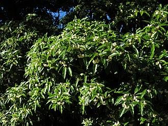 Live Oak Park (Berkeley) - Image: Pittosporum undulatum