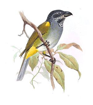 Yellow-shouldered grosbeak - Image: Pitylus Humeralis Smit