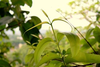Place Rourkela.The growing leaves of a plant.jpg