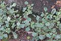 Plant Kuppai-meeni.jpg