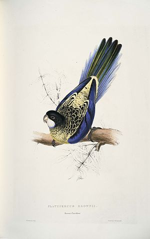 1820 in birding and ornithology - Northern rosella illustration by Edward Lear