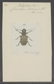 Platysternus - Print - Iconographia Zoologica - Special Collections University of Amsterdam - UBAINV0274 034 23 0008.tif