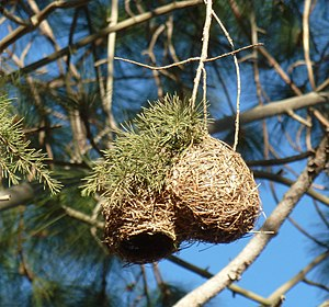 Cape weaver - A nest built of pine needles, at Harrismith, Free State