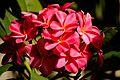 Plumeria Flowers (6206071273).jpg