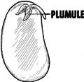 Plumule (PSF).png