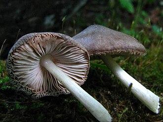 Psilocybin mushroom - Image: Pluteus salcinus