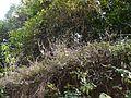 Pogostemon paniculatus (Willd.) Benth. (16016363870).jpg