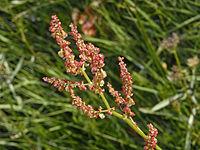 Polygonaceae - Rumex arifolius.jpg