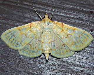 <i>Polygrammodes</i> Genus of moths