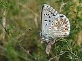 Polyommatus coridon (46030472474).jpg