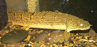 Polypterus weeksii 1