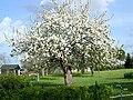 Pommier en fleurs - panoramio.jpg