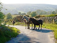 Ponies in the lane near Scobitor - geograph.org.uk - 177681.jpg