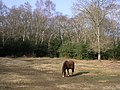 Pony grazing on the edge of woodland, New Forest - geograph.org.uk - 138482.jpg
