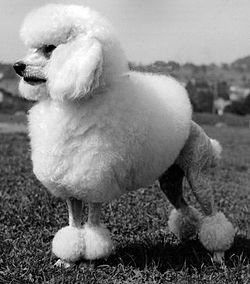 Poodle branco tamanho gigante